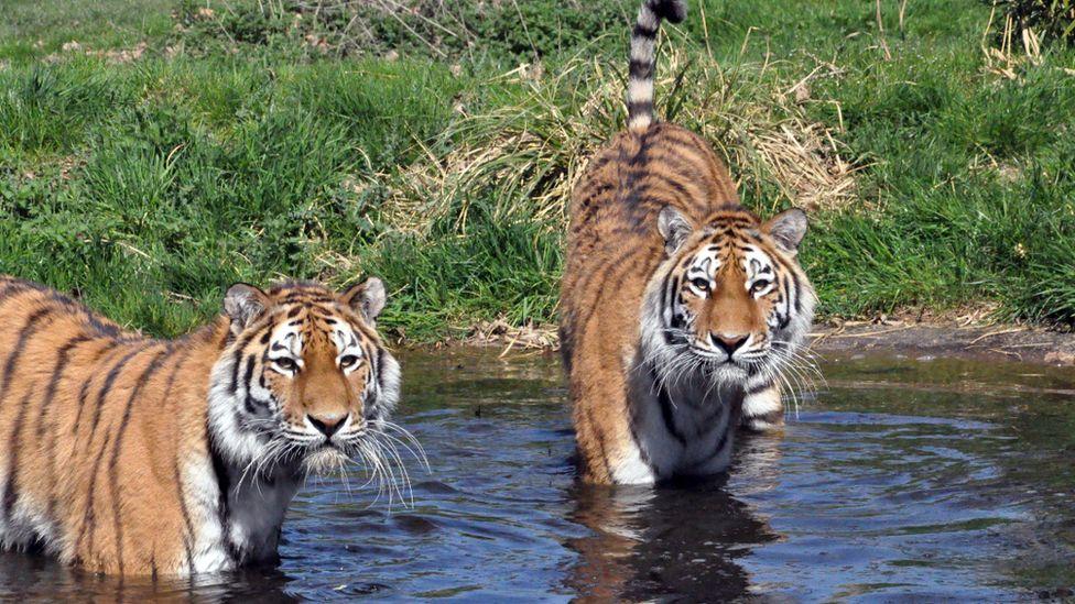 Siberian Tigers cooling off in water at Woburn Safari Park