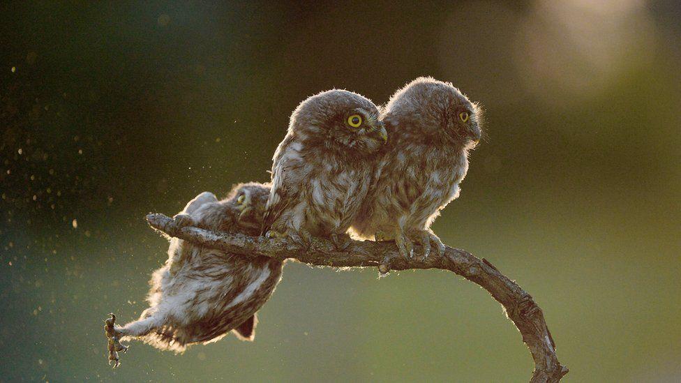 Сови, owls. Photo: Tibor Kercz