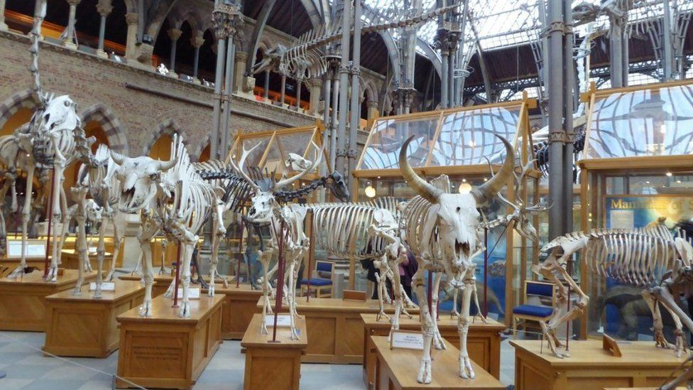 Skeletons at the Natural History Museum in Oxford