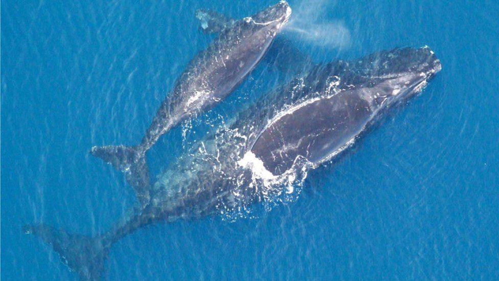 North Atlantic right whale (Eubalaena glacialis) and calf
