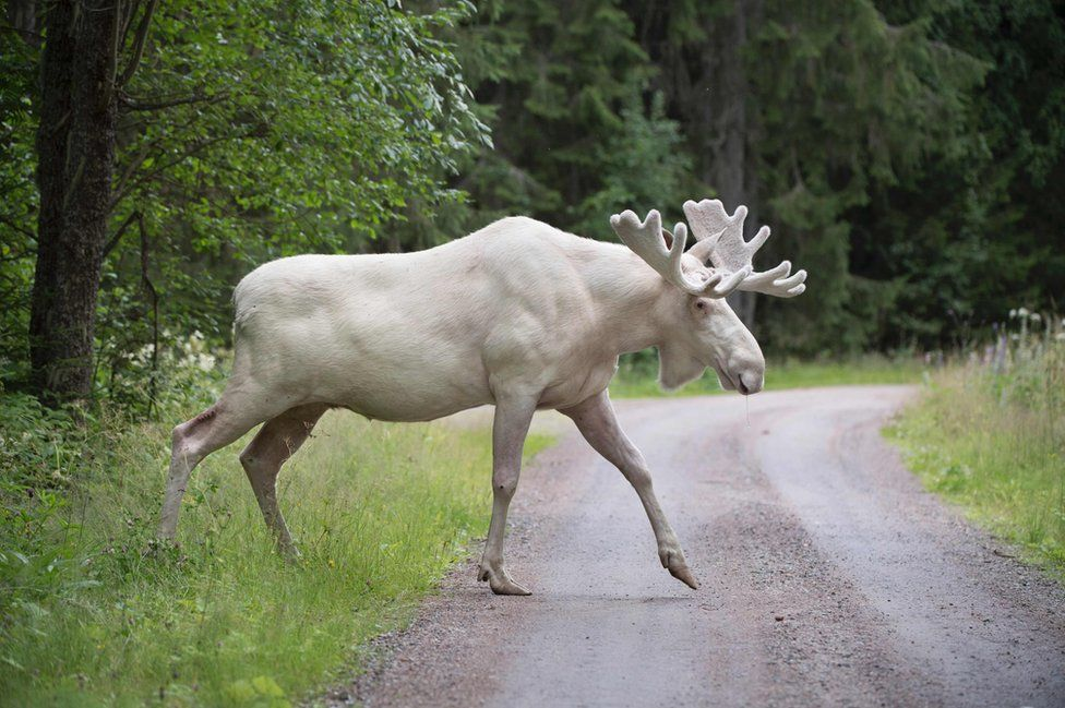 A white moose crosses the road