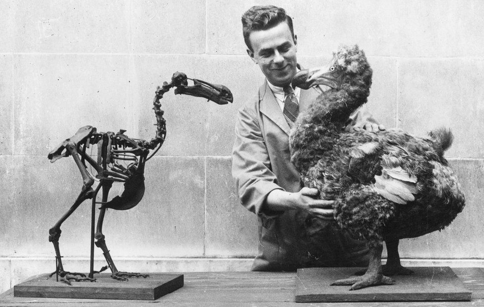 Dodo skeleton and model at National Museum of Wales in 1930s