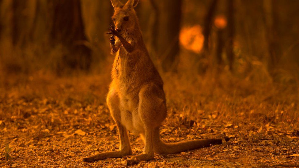A wallaby licks its burnt paws after fleeing a bushfire near township of Nana Glen in New South Wales on 12 November
