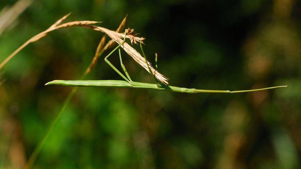 Phasmatodea (clonopsis gallica)