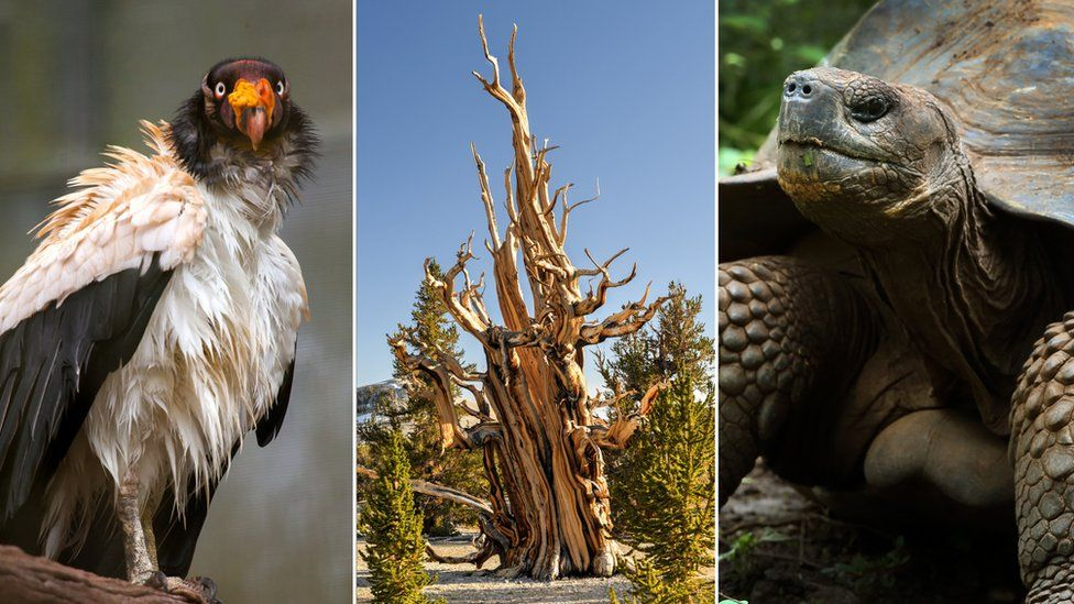 King vulture, bristlecone pine tree, giant tortoise