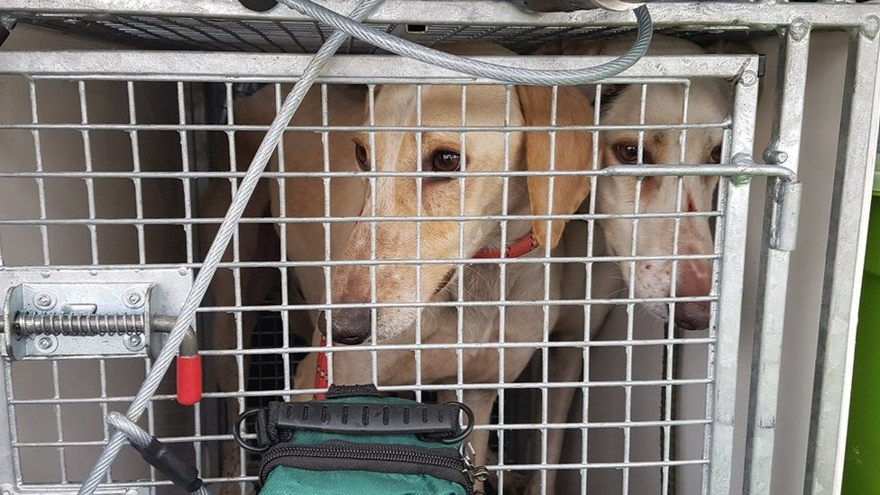 Lurchers in the back of a police van