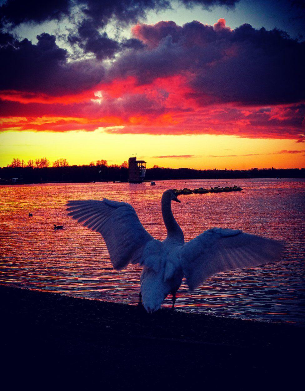 Swan stretching at sunset