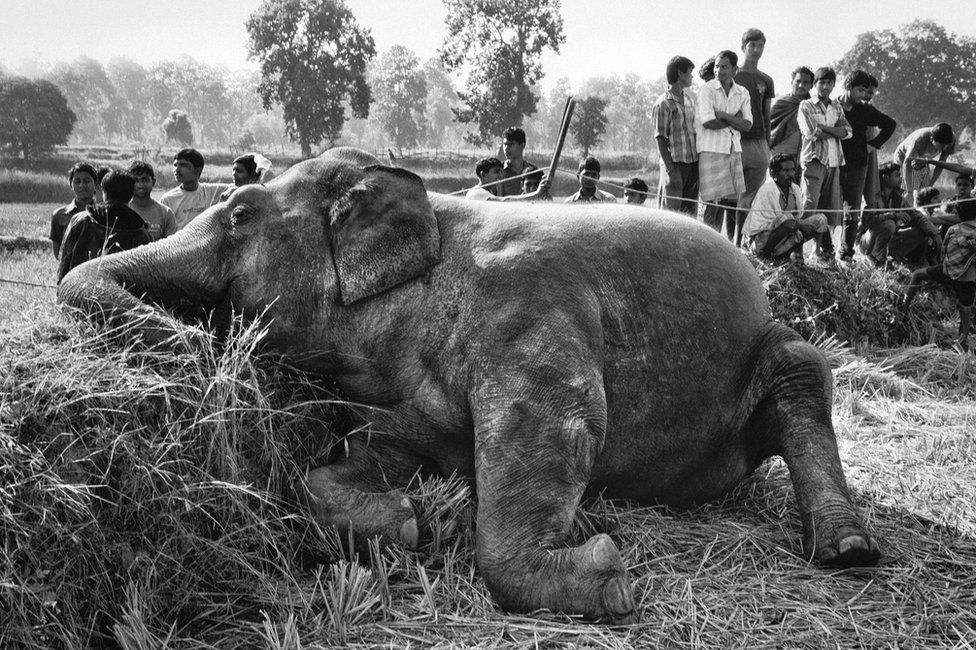 Elephant dead due to electrocution