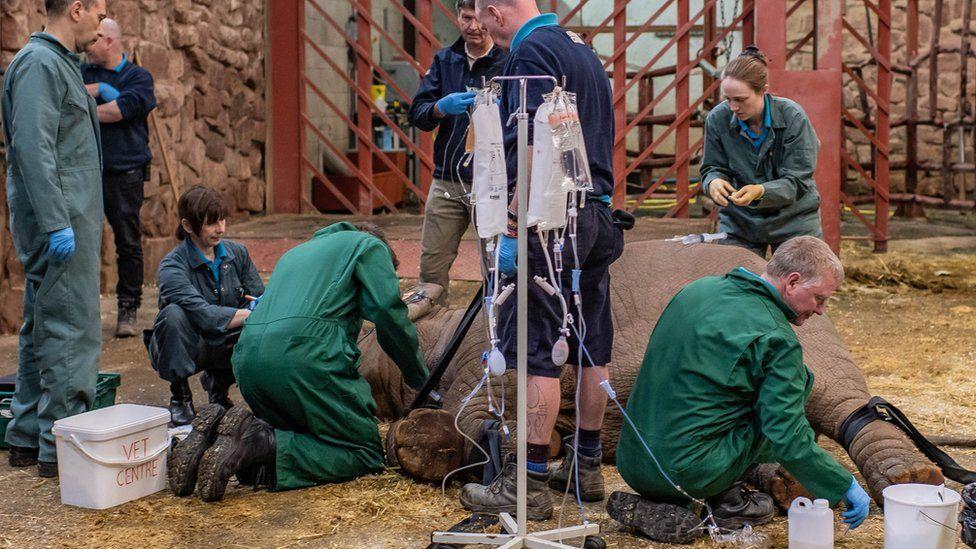 Elephant calf receiving treatment for EEHV