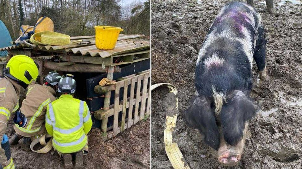 Firefighters rescuing a pig