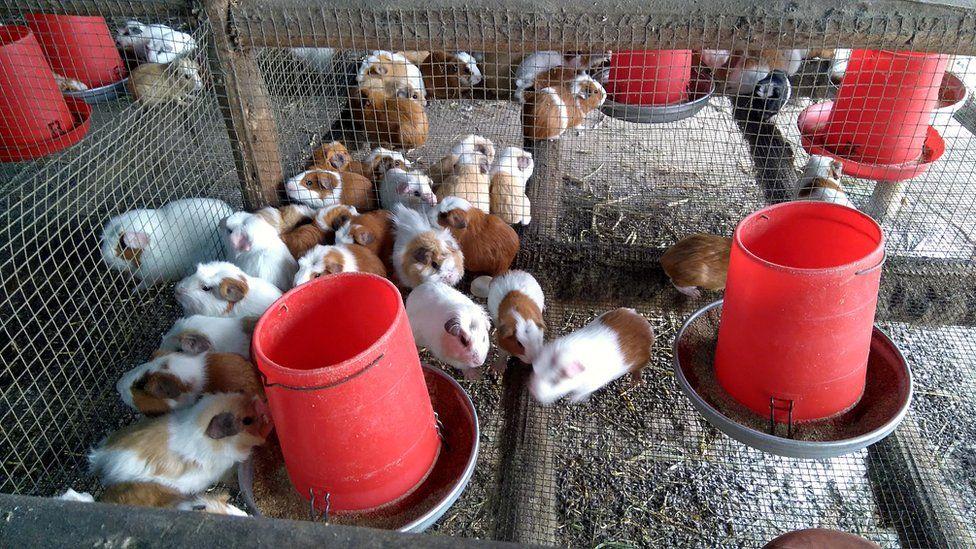 guinea pig farm