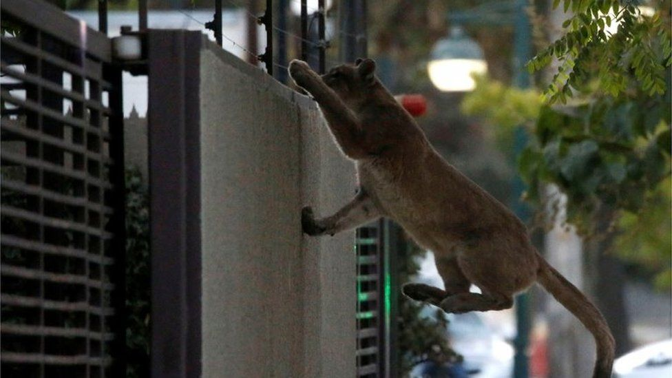 A cougar climbs a wall during the dawn at a neighbourhood before being captured and taken to a zoo, in Santiago, Chile March 24, 2020
