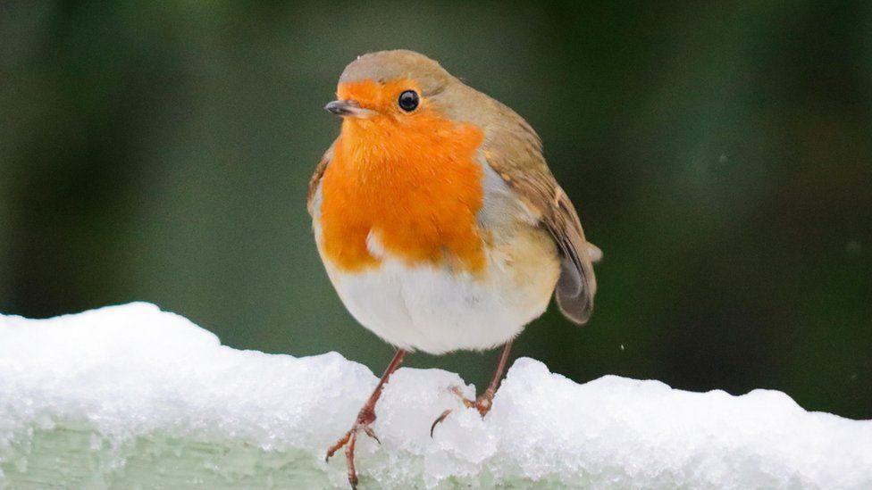 Robin on snow in Cambridge
