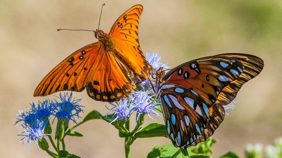 The butterflies that could stop Trump's wall - BBC News