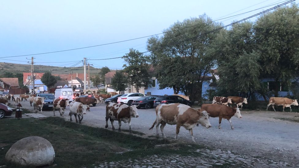 Cattle pass by Prince Charles' house in Romania