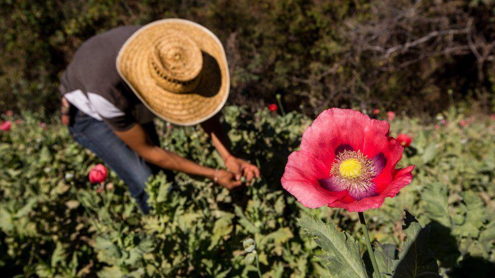 Farmer working a poppy field in Mexico