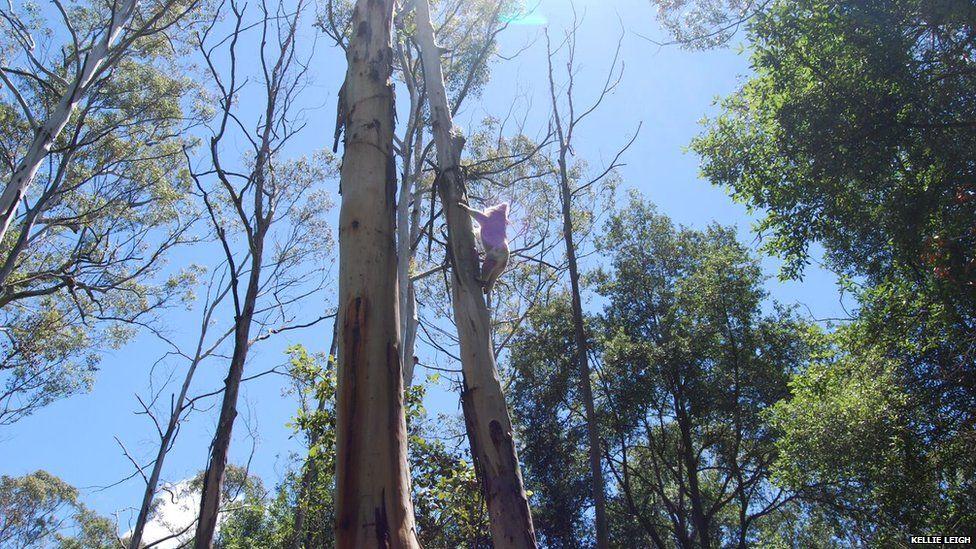 A koala climbs a tree in the Blue Mountains, NSW, Australia