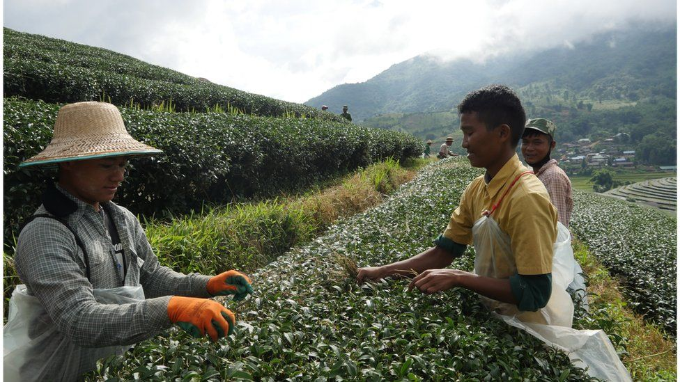 A tea plantation, with workers plucking tea leaves.