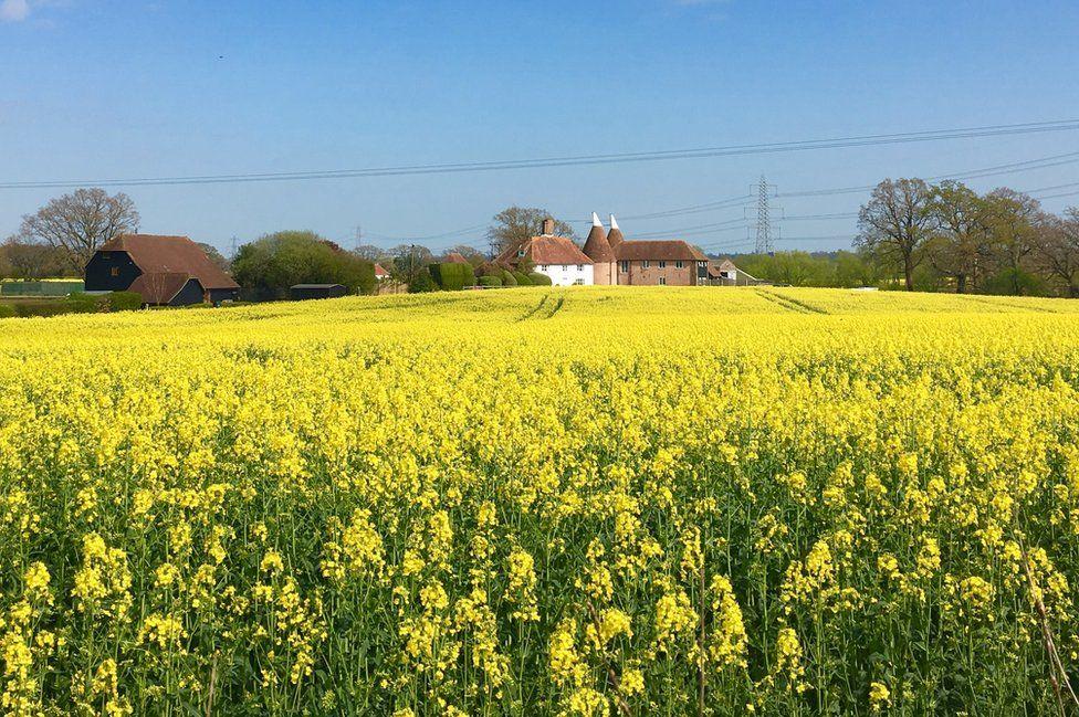 Rapeseed field before harvest