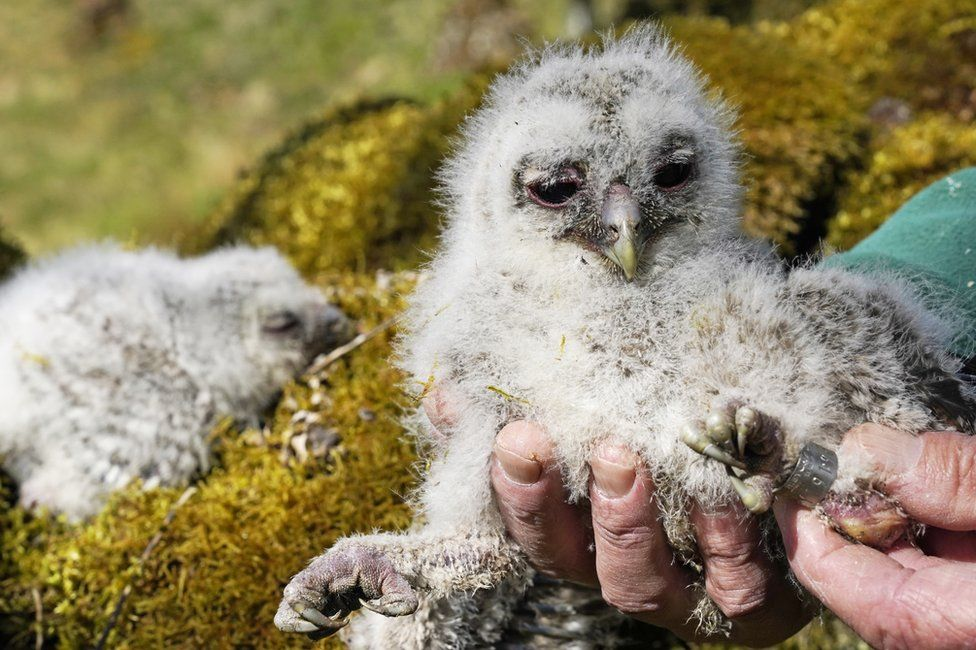A baby tawny owl chick is ringed by a wildlife expert in Kielder Forest, Northumberland