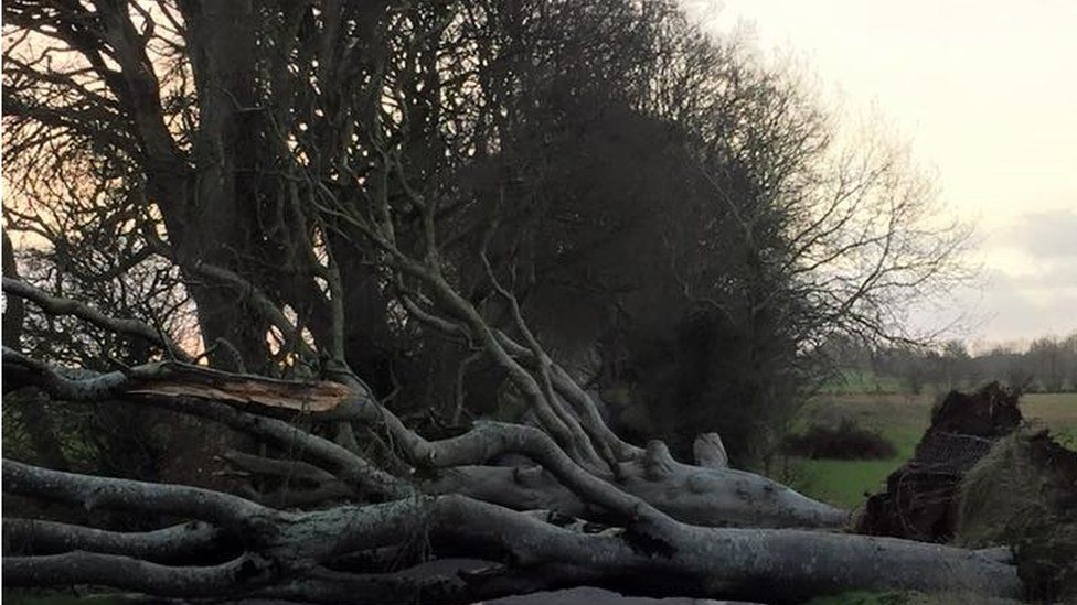The Dark Hedges, Armoy, were battered in the storm