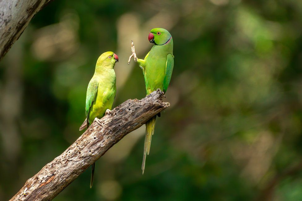 A parrot holding up its foot to another parrot