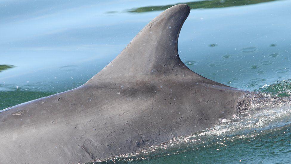 Dolphin Spirtle's left side