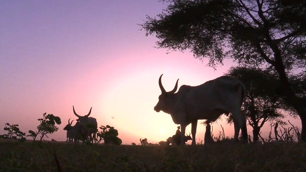 African Cattle
