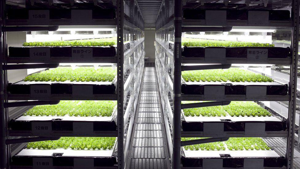 Young lettuces under LED lights on racks