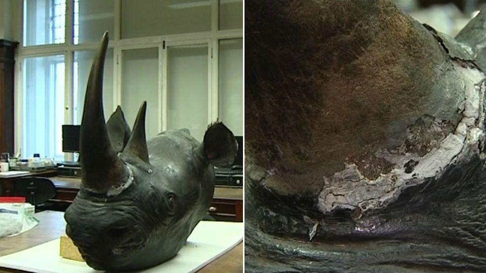 Rhino head at Norwich Castle Museum