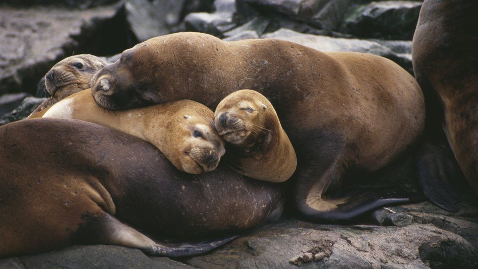 Sleeping sea lions, Patagonia, Chile, March 1994