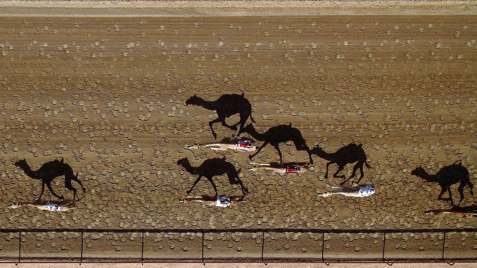 Camel racing, Dubai, UAE
