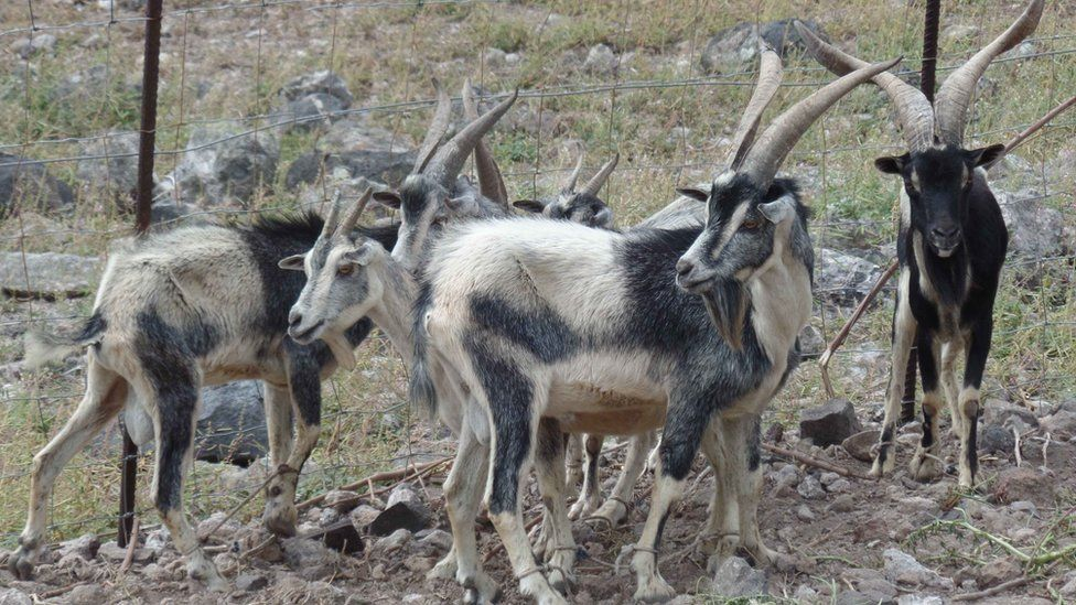 The goats have eaten most of the island's vegetation