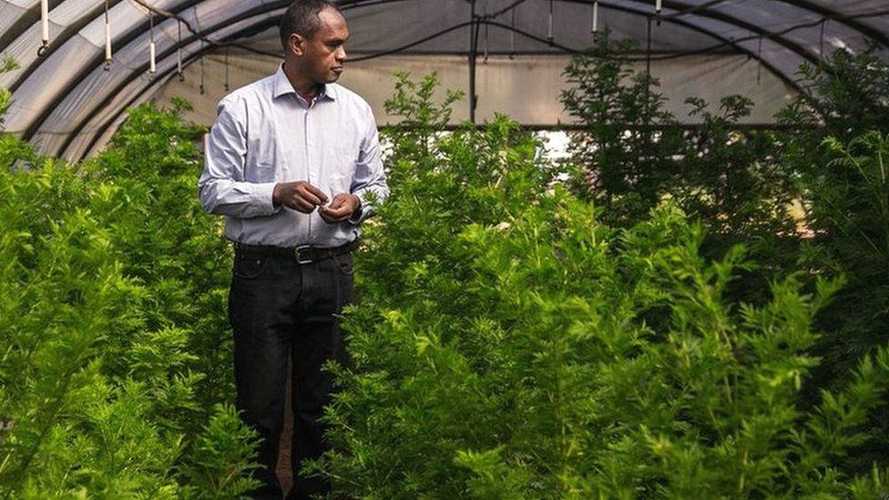 Rasamiharimanana Solofo, an agricultural engineer and researcher inspects plants of artemisia annua growing in greenhouses