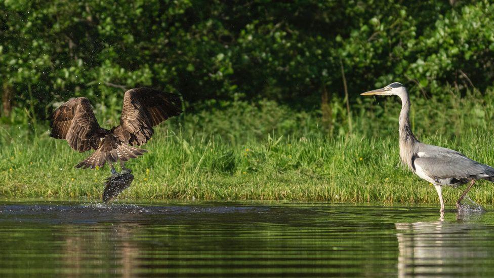 Osprey and heron