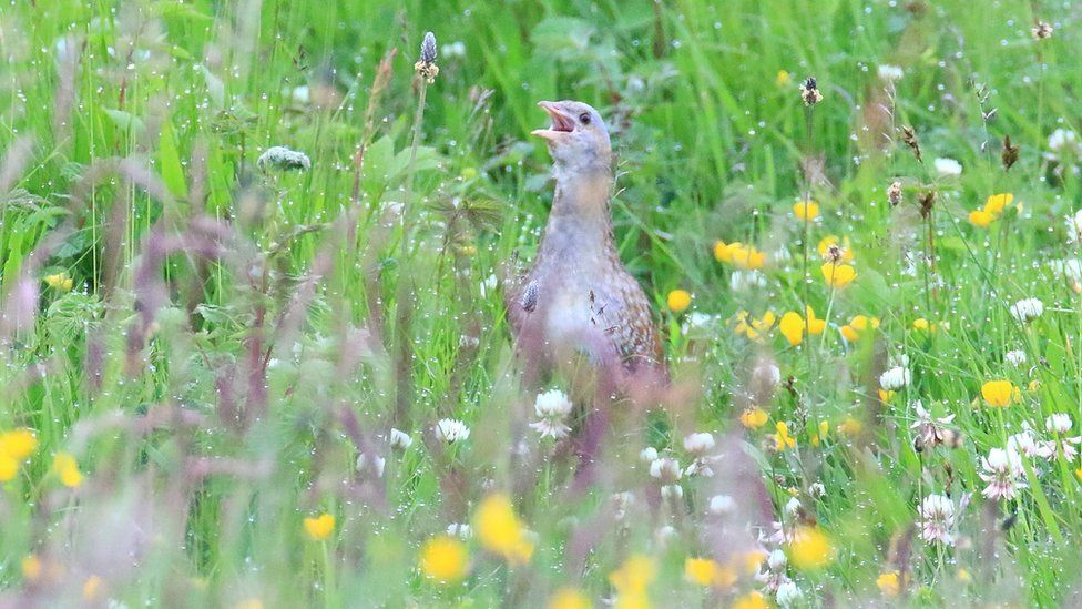Corncrake calling in the fields