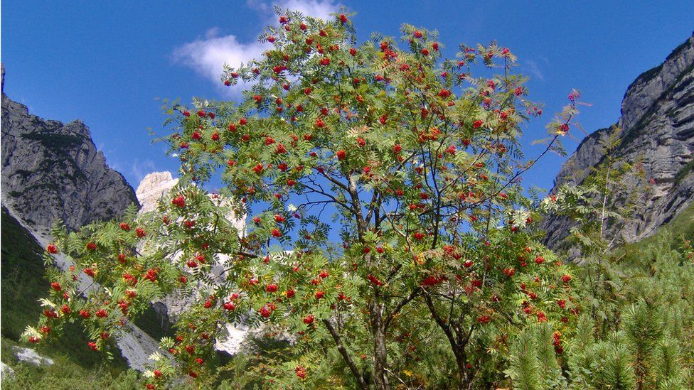 The mountain-ash is in decline