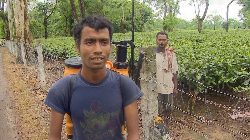A worker without protective equipment at a tea estate in Assam