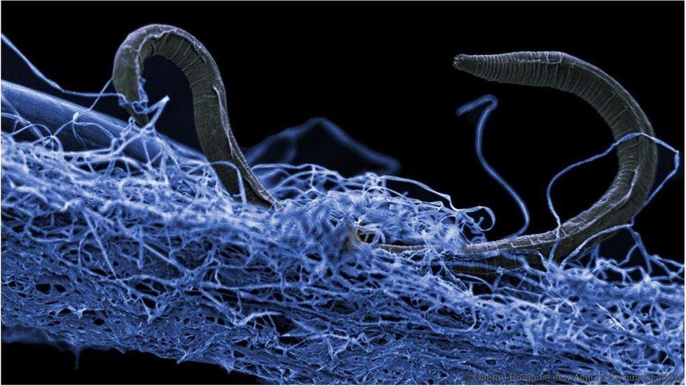 An unidentified nematode from Kopanang gold mine