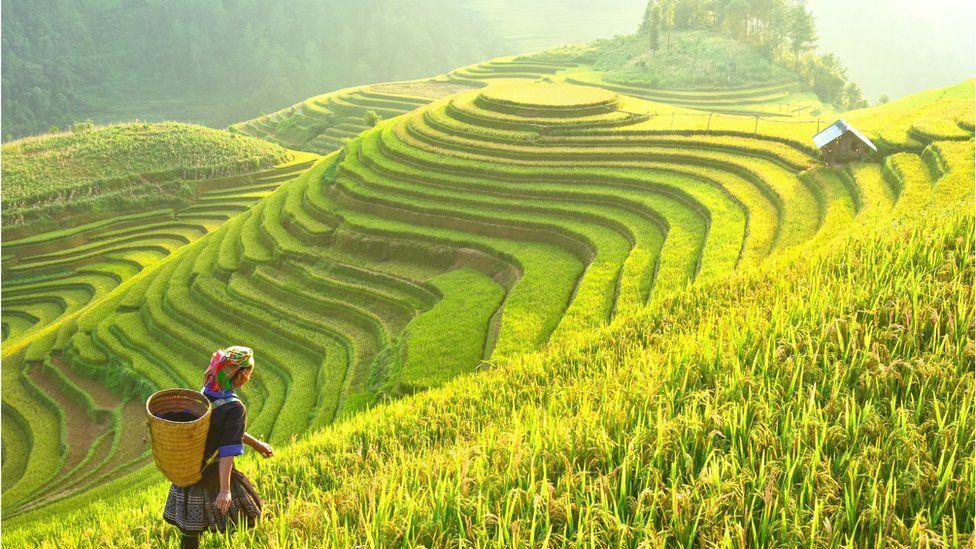 Rice being harvested in Northwest Vietnam