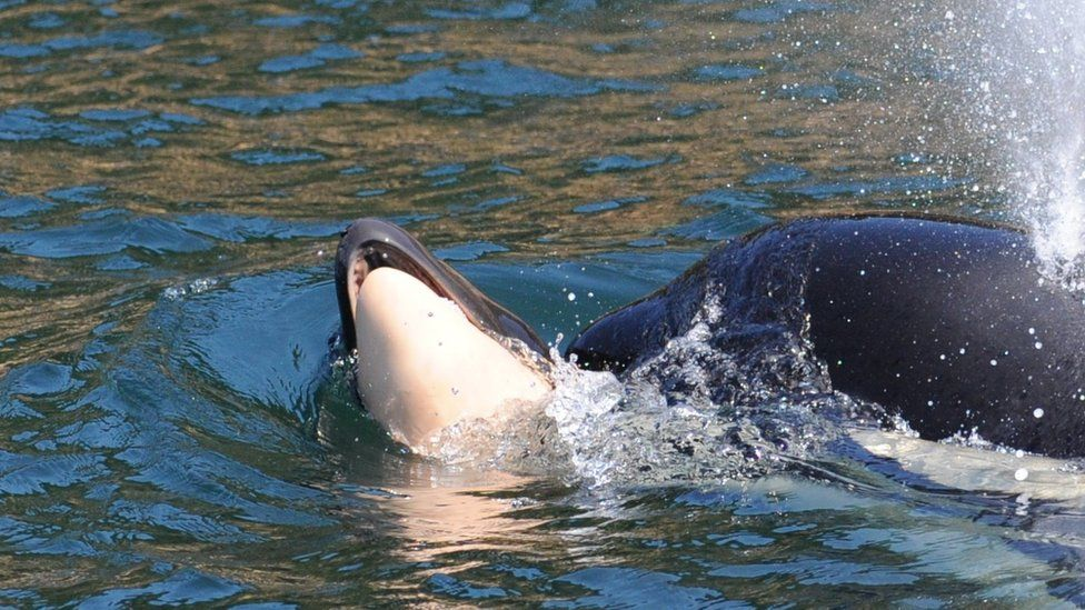 Tahlequah pictured carrying her dead calf