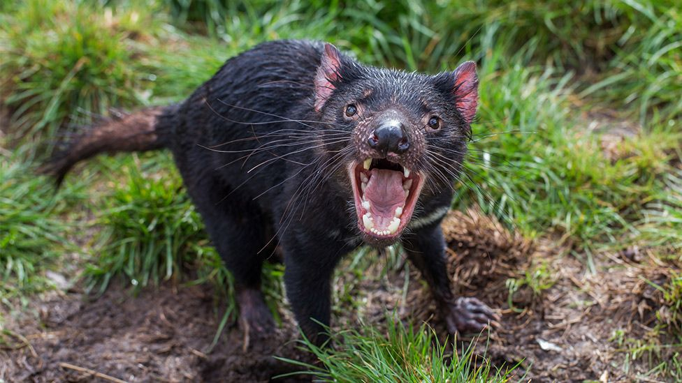 Tasmanian devils 'adapting to coexist with cancer' - BBC News