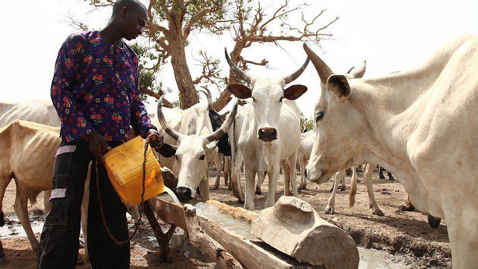 Herder watering the cows
