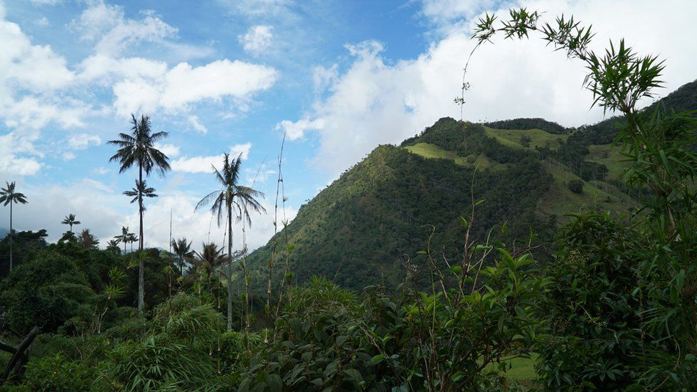 A view of the Corora valley and its Quindío Wax Palms