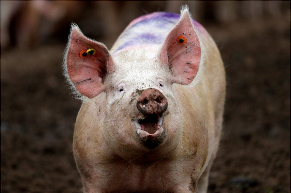 A pig stands in a field near RAF Lossiemouth, Scotland