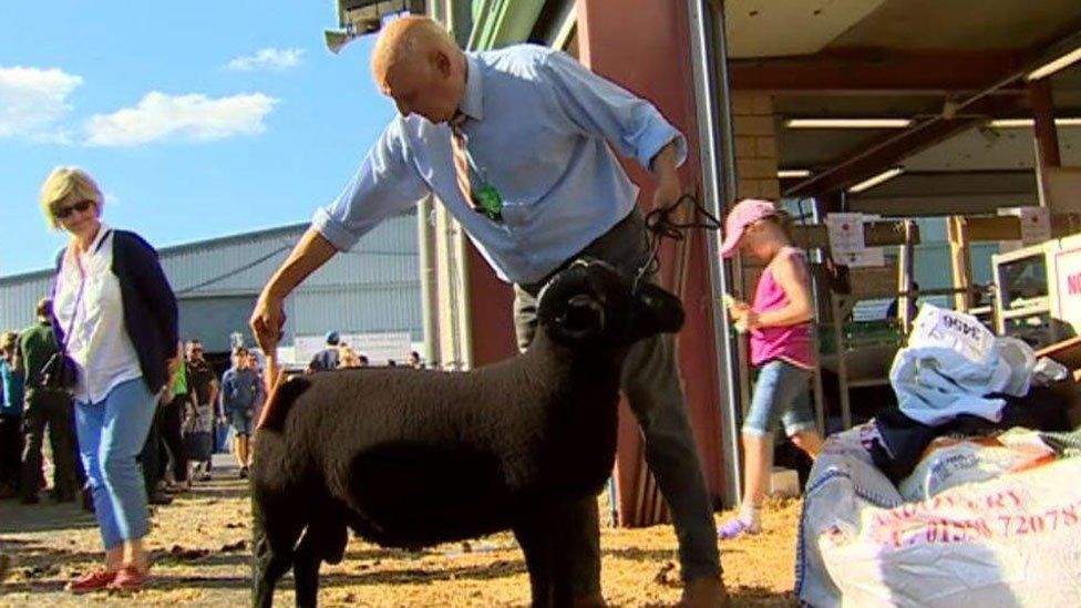 Man prepares a sheep to show off at a previous event