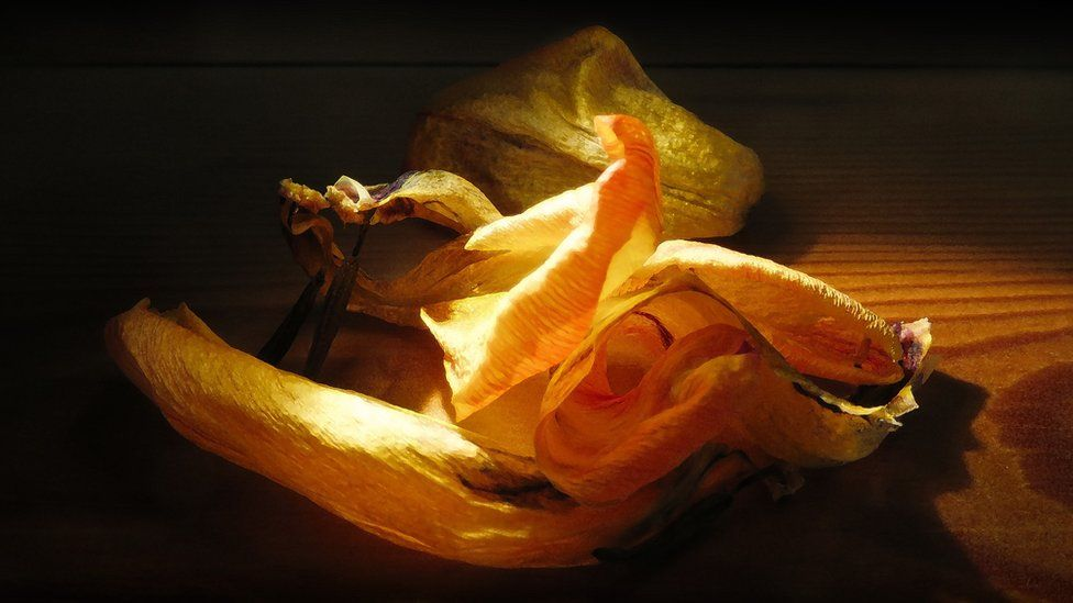 Dried daffodil blossoms on a wooden bench