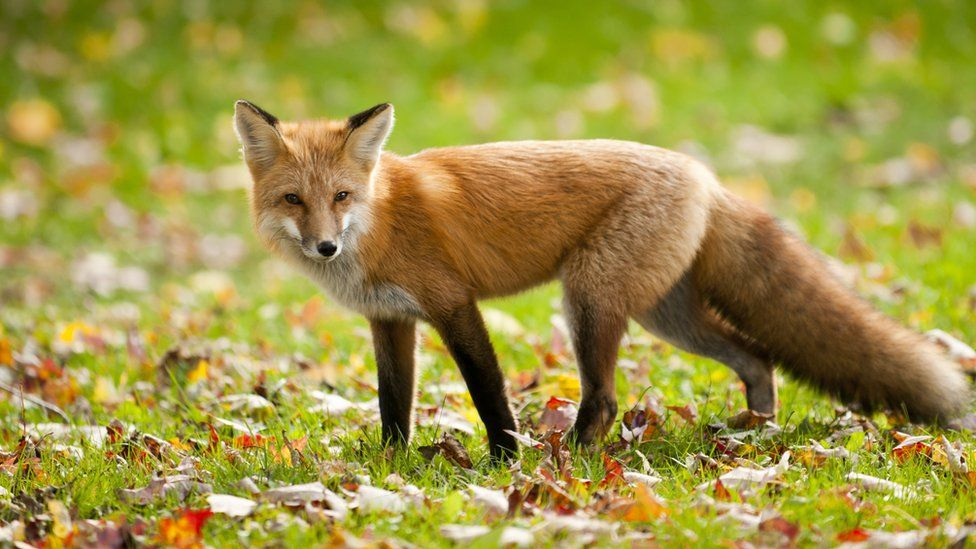 Two charged over 'illegal fox hunting' in Thame