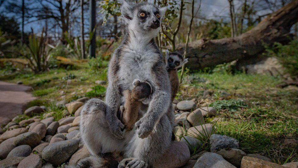 rare twin lemurs