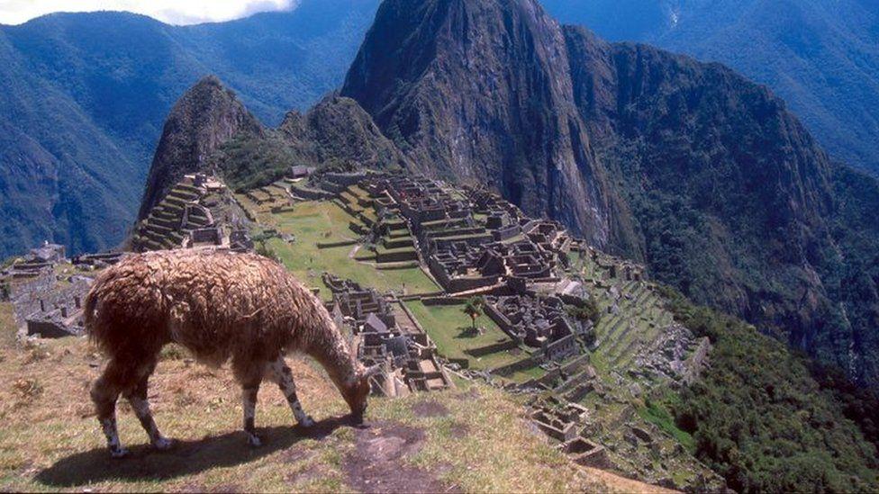 Llama grazing on mountain overlooking Machu Picchu, Peru.